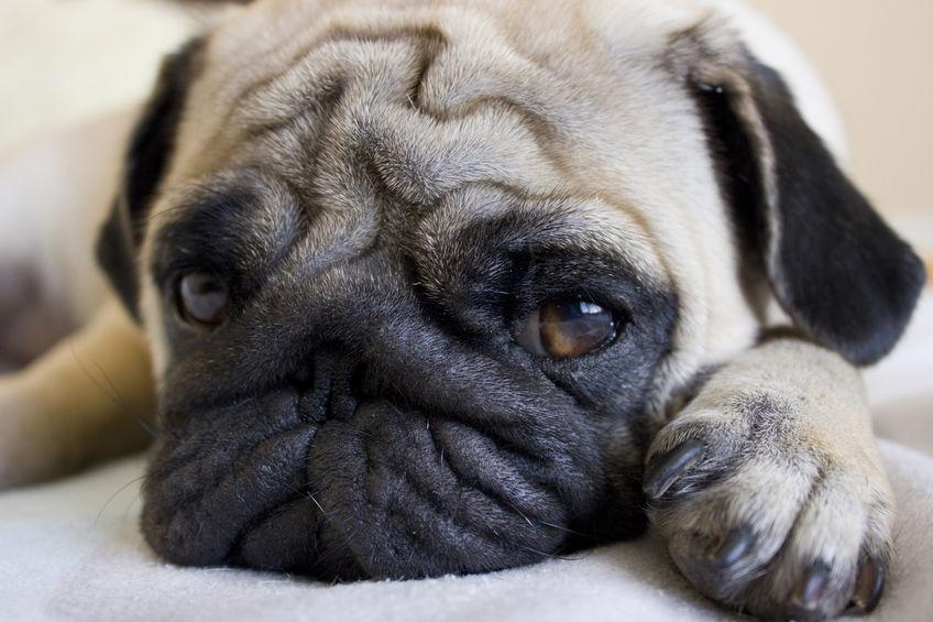 denkende hond